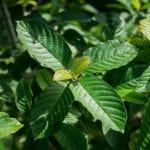 Top 9 Health Benefits of Kratom