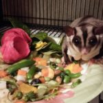 Sugar Glider Diet: What to Feed Your Sugar Glider