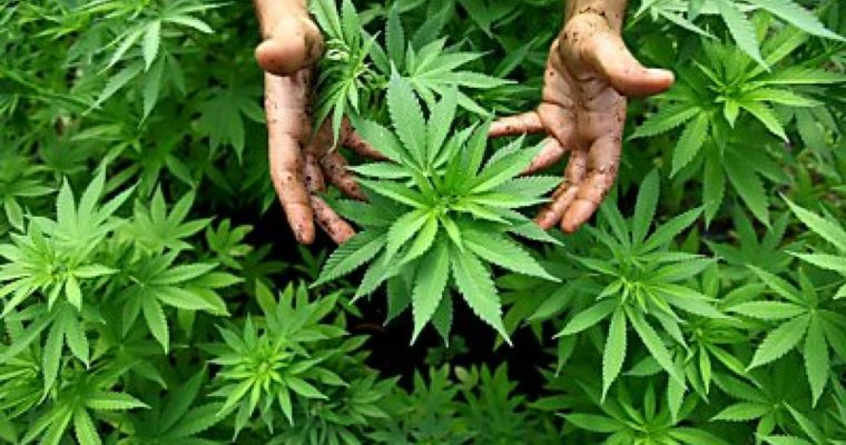 Plant genetic plays a dominant role in determining the effects of cannabis
