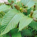Top 5 Major Health Benefits of Kratom