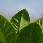 Benefits of Buying Tobacco Online