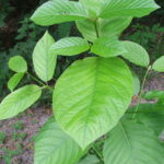 Why Is Kratom Banned By Most Countries?